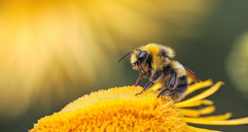 Bal arısının zehri laboratuvarda meme kanseri hücrelerini yok etti