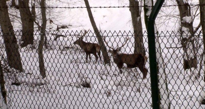 Belgrad Ormanı'ndaki geyikler böyle görüntülendi