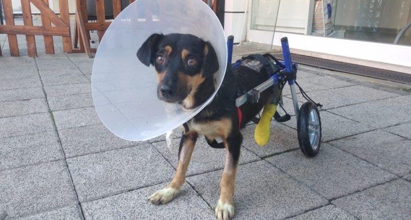 Canice bacakları kesilen köpeğe yürüteç takıldı