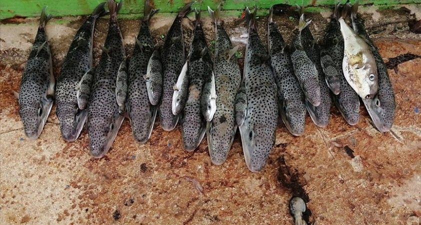 Hatay ve Mersin'de 935 balon balığı alımı yapıldı