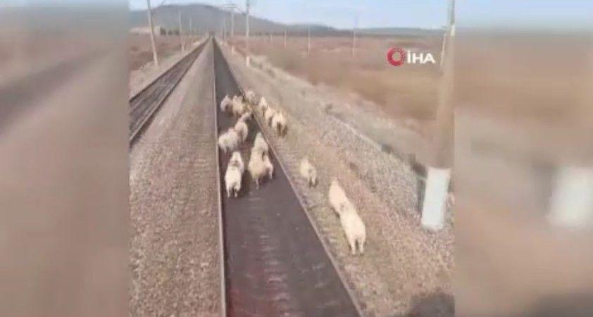 Yük treni koyun sürüsüne çarpmaktan son anda kurtuldu