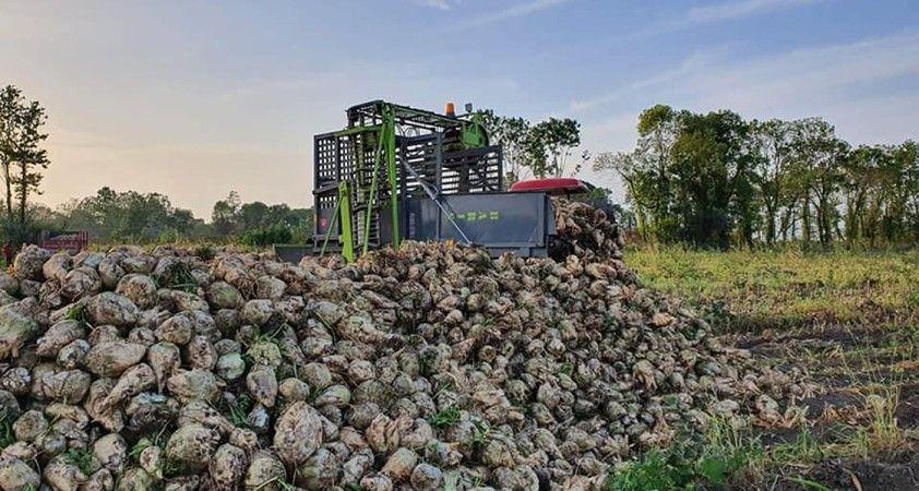 Çarşamba'da 10 yıl sonra ilk şeker pancarı hasadı yapıldı