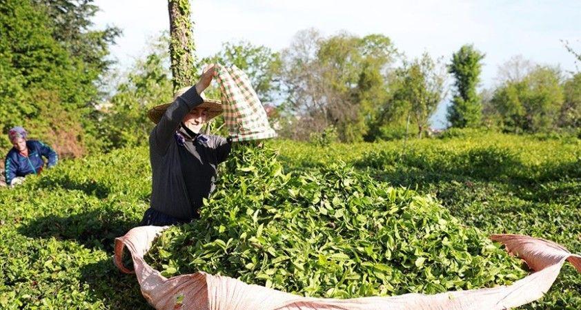 ÇAYKUR 776 bin ton yaş çay alımı gerçekleştirdi