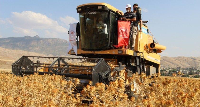 Şırnak'ta ilk defa ekilen aspirin hasadı yapıldı