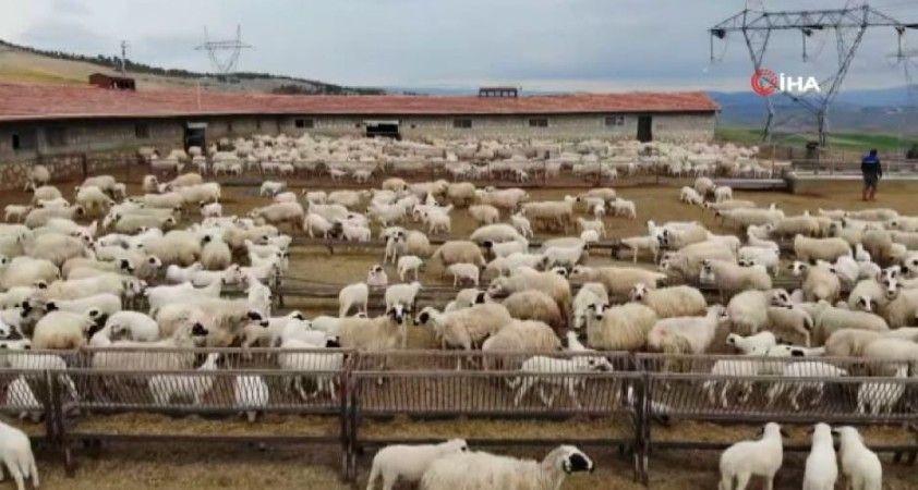 Kuzu ve koyunların duygusal buluşması