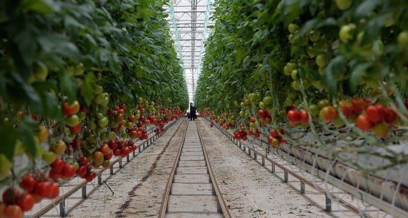 Uşak'ta topraksız serada yetişen domatesler 9 ülkede sofraları süslüyor