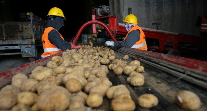 Belediyelerin taleplerini karşılamaya başlayan patates üreticisi sevinçli