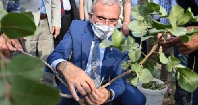 Vali Karaloğlu, 28 bin ağaçlık fıstık aşılama kampanyasını başlattı