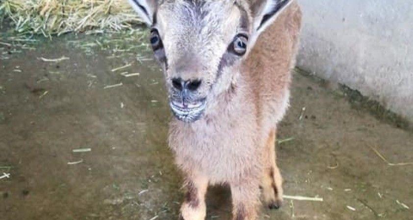 Tunceli'de yavru dağ keçisi koruma altına alındı