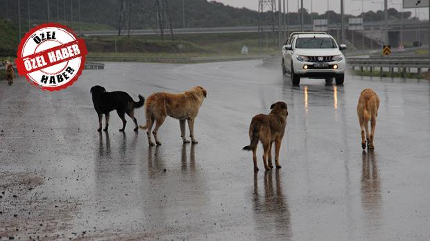İstanbul'un sahipsiz köpekleri kaza kurbanı oluyor