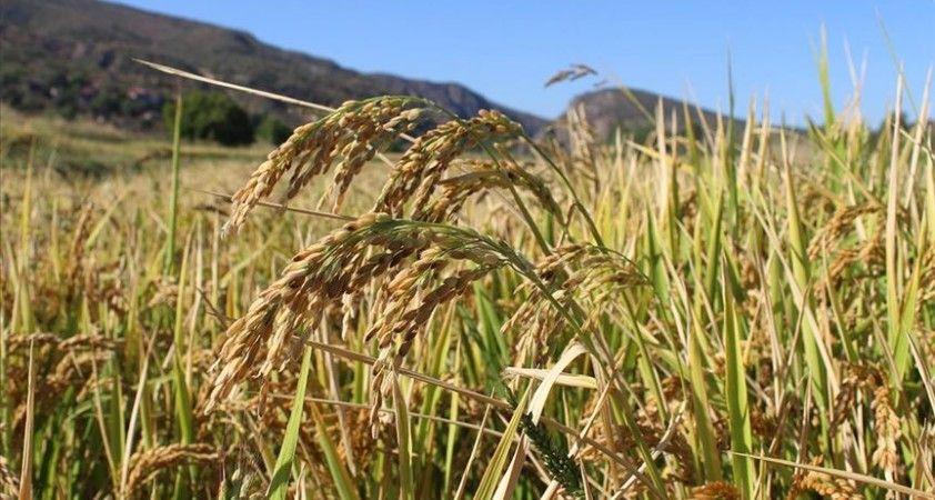 Coğrafi işaretli Tosya pirincinin hasadı başladı