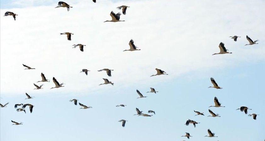 Erken göçe başlayan binlerce leylek mola verdikleri Uşak'ta görüntülendi