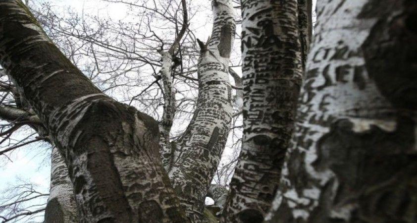 'Künye ağaç' bakım bekliyor