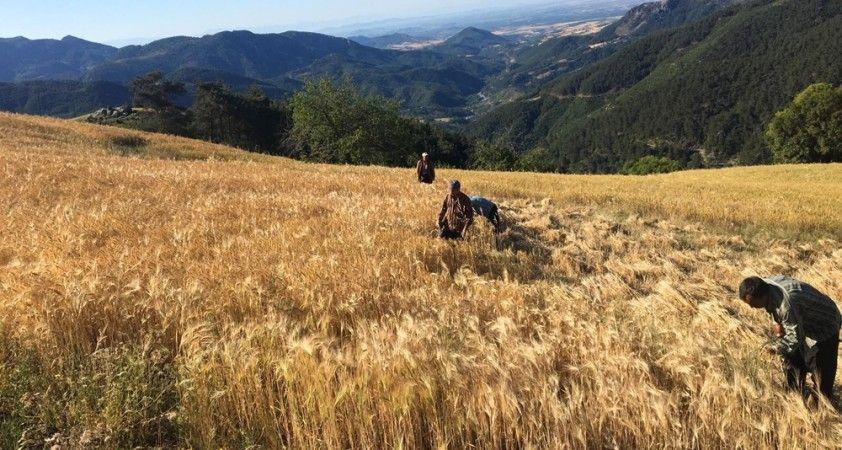 Çukurova'da biçerdöver, kırsalda orakla hasat